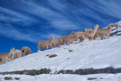 Flock av lamor i Anderna royaltyfria foton