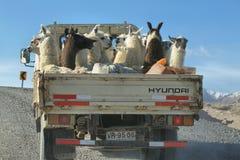 Flock av lamor nära den Guallatire byn Arkivbilder