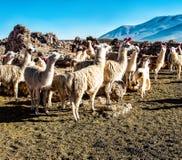 Flock av lamor som betar på den bolivianska altiplanoen på bakgrunden av storartade volcanoes Inhemsk lama Gulliga djur Royaltyfria Bilder