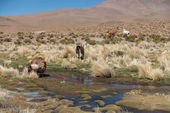 Flock av lamor vid dammet på Altiplanoen, Anderna, Bolivia royaltyfria bilder