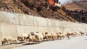 Flock av longhaired får som går på gatan i Yarchen Gar Monastery i Sichuan lager videofilmer