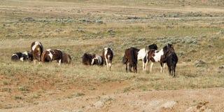 Flock av lösa Pinto Horses Arkivfoto
