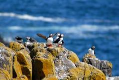 Flock av lunnefåglar Arkivfoton