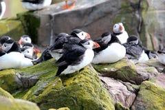 Flock av lunnefåglar som vilar på klipporna på de Farne öarna, Northumberland Royaltyfri Fotografi