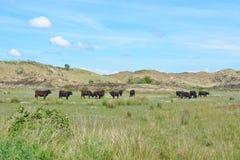 Flock av mörkt brunt löst Galloway nötkreatur i nationalparken De Muy i Nederländerna på Texel arkivfoton