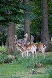 Flock av manliga i träda Deers i skogen Royaltyfri Bild