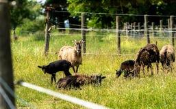 Flock av mouflons arkivfoto
