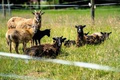 Flock av mouflons fotografering för bildbyråer