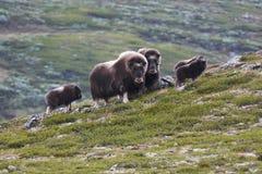 Flock av muskox Royaltyfri Foto