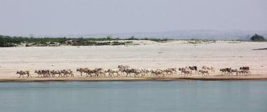 Flock av nötkreatur på den Irrawaddi floden Arkivfoto