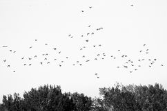 Flock av änder Silhouetted mot en vit bakgrund Arkivbild