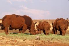Flock av noshörningen i den Kruger nationalparken, Sydafrika arkivbild