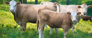 Flock av nötköttnötkreatur Arkivbild
