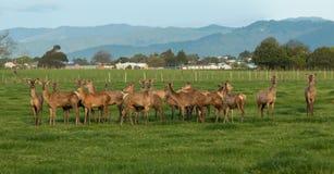 Flock av nyazeeländska hjortar royaltyfria bilder