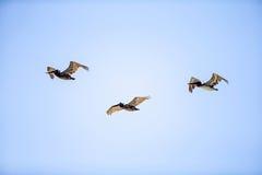 Flock av pelikan Royaltyfri Bild