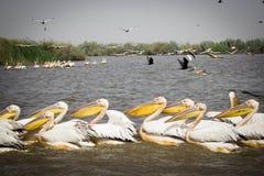 Flock av pelikan i den Djoudj nationalparken royaltyfria bilder
