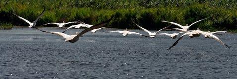 Flock av pelikan i Donaudelta royaltyfria foton