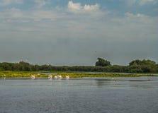 Flock av pelikan som bort flyger, Donaudelta, Rumänien arkivbilder