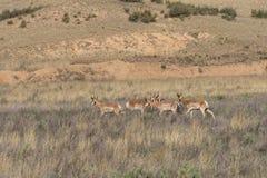 Flock av Pronghorn bockar Royaltyfria Bilder