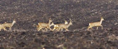 Flock av rådjur på plogat land Arkivbild