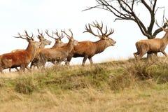 Flock av röda deers på kullen royaltyfria foton