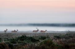 Flock av röda hjortar på dimmigt fält i Vitryssland Arkivbild