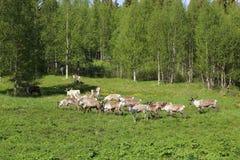 Flock av renar på en äng i Sverige Fotografering för Bildbyråer