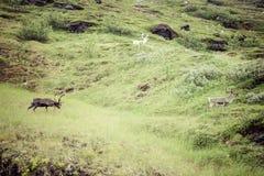 Flock av renen i Norge royaltyfri foto