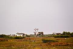 Flock av renen på svensk tundra royaltyfri bild