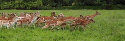 Flock av rinnande dovhjortar Royaltyfri Bild