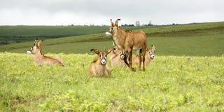 Flock av Roan Antelope på kullarna av den Nyika platån Arkivfoton