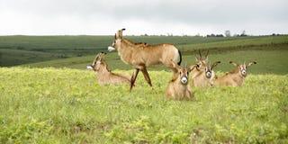 Flock av Roan Antelope på kullarna av den Nyika platån Royaltyfri Foto