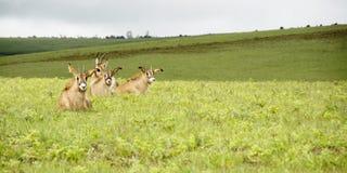 Flock av Roan Antelope på kullarna av den Nyika platån Royaltyfria Foton