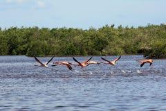 Flock av rosa amerikanska flamingo som flyger över vatten Royaltyfri Bild