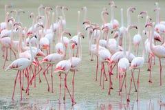 Flock av rosa flamingo på sanden Royaltyfri Bild
