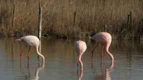 Flock av rosa flamingo på sjön, phoenicopterus, härlig vit rosaaktig fågel i dammet, vattenfågel i dess miljö, Camargue, Fran lager videofilmer