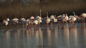 Flock av rosa flamingo på sjön, phoenicopterus, härlig vit rosaaktig fågel i dammet, vattenfågel i dess miljö, Camargue, Fran stock video