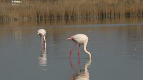 Flock av rosa flamingo på sjön, phoenicopterus, härlig vit rosaaktig fågel i dammet, vattenfågel i dess miljö, Camargue, Fran arkivfilmer