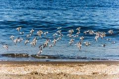 Flock av Sanderlings Arkivfoton