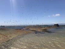 Flock av Seabirds som tar av från stenblockstrandöverskrift in mot den falska fjärden Sydafrika royaltyfri foto