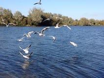 Flock av seagulls över vatten Royaltyfria Bilder