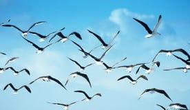 Flock av seagulls i flykten Fotografering för Bildbyråer