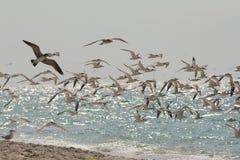 Flock av seagulls Nokomis Fotografering för Bildbyråer