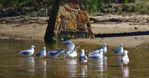 Flock av seagulls på vatten arkivfoto