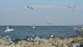 Flock av seagulls som cirklar ovanför kusten av det baltiska havet stock video