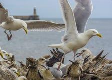 Flock av Seagullsmatning Royaltyfri Foto
