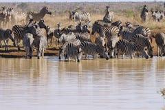 Flock av sebran vid floden Arkivfoto