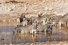 Flock av sebror i en waterhole i Namibia royaltyfri foto