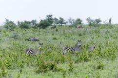 Flock av sebror i Selous Arkivfoto