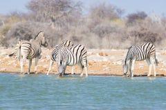 Flock av sebror som dricker från waterhole i busken Djurlivsafari i den Etosha nationalparken, loppdestination i Namibia royaltyfri bild